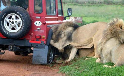 Safari sonları oluyordu