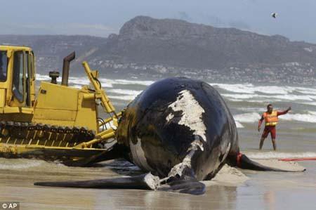 Dev balina karaya vurdu!