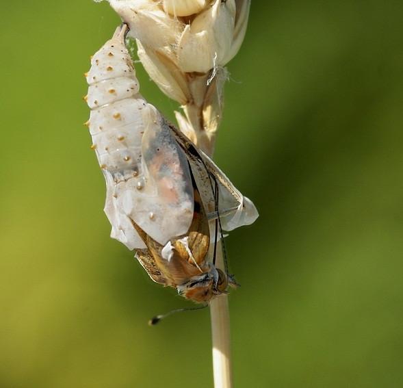 Kelebeğin doğum mucizesi çok şaşırtacak