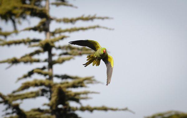 İstanbulun yeşil papağanları çoğalıyor