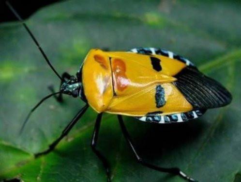 Bu böcekler insan yüzünü andırıyor