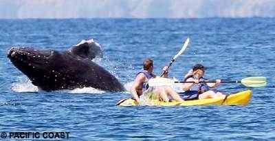 Pasifikte balina paniği !