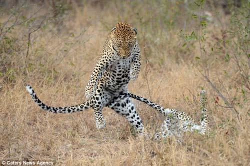 Leopardan Gangnam Style