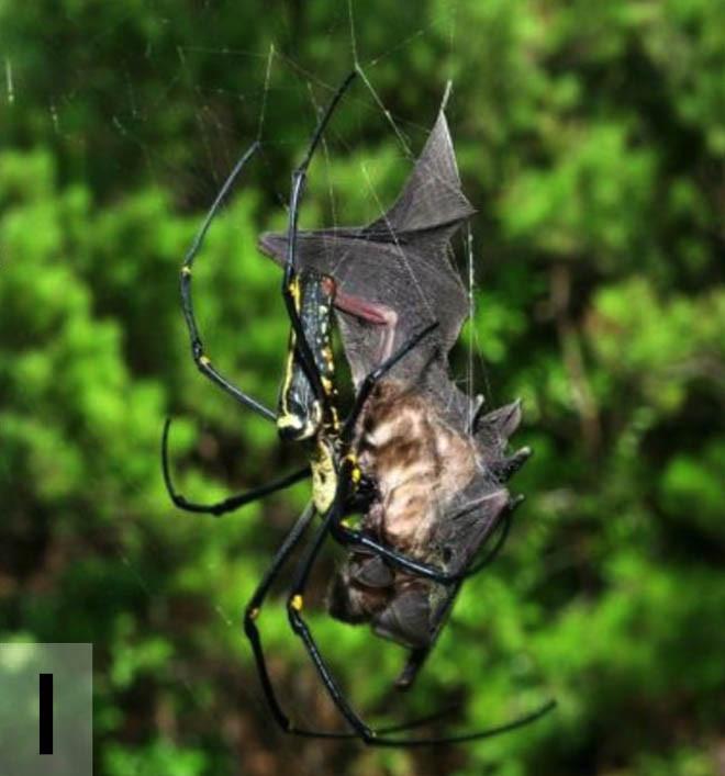 Yarasa yiyen örümcekler