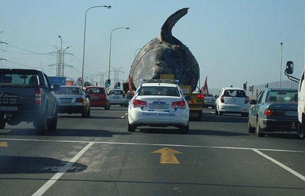 Yoldan geçen sürücüler gözlerine inanamadı