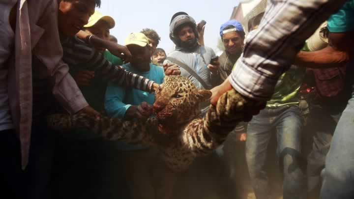 15 kişiyi yaralayan leopar linç edildi