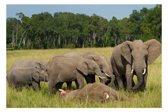 Yavru fil ölen annesini bırakamadı