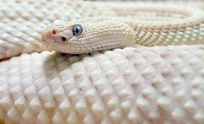 En eşsiz beyazlar, albinolar...