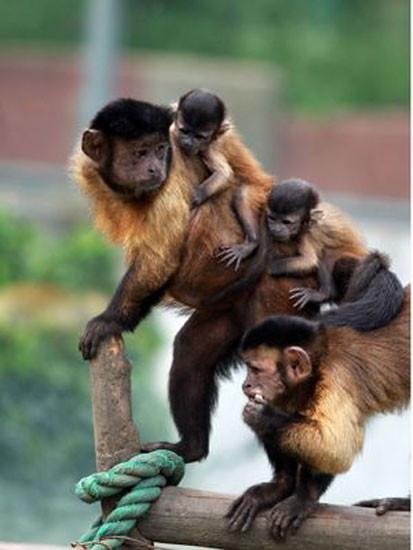 Onu maymunlar büyüttü!
