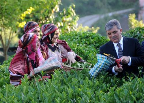 Cumhurbaşkanı Gül, Rizede çay topladı