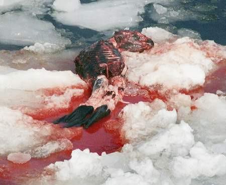 Kürk için fokları katlediyorlar !
