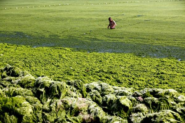 Çinde yosun istilası