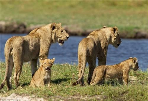 Yavrusunu koruyan aslanın saldırısı