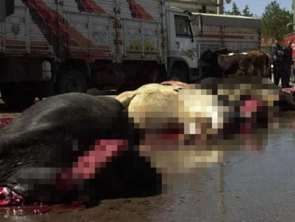 Eylem diye inek katliamı!