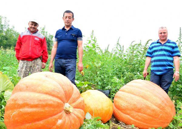 Dev kabaklar hasat edildi