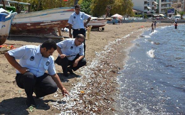 Dikilide tonlarca ölü balık denize döküldü