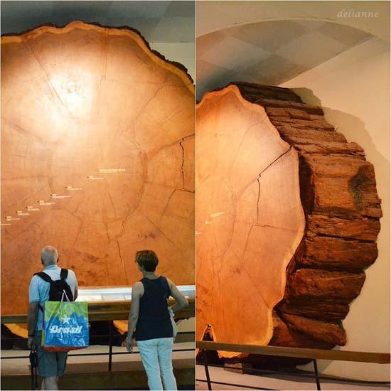 Gezegenimizin en iri ağacı