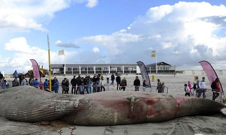 Dev balina sahile vurdu