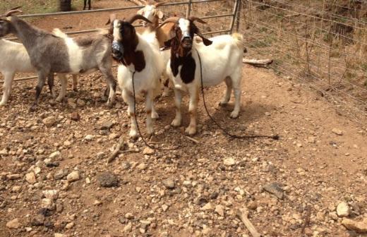 Keçileri kaçırılan ABDli çiftçi