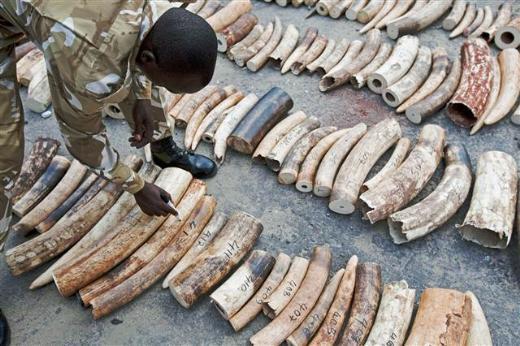 Türkiyeye dört ton fildişi kaçıracaklardı