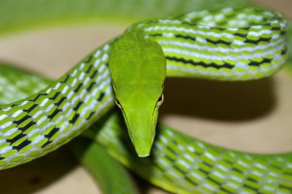 Kamuflaj ustası yılan