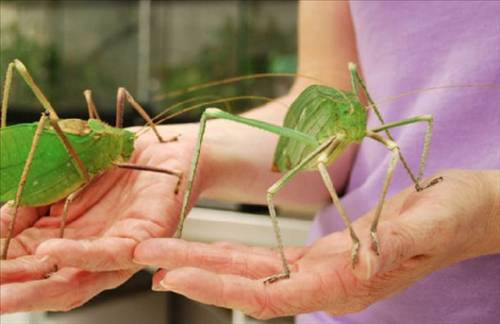 Dünyanın en büyük böcekleri