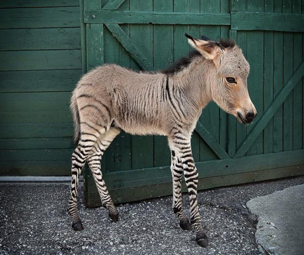 Yarı eşek yarı zebra