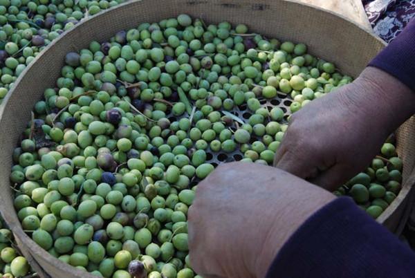 Tarladan sofraya zeytinyağının meşakatli yolculuğu