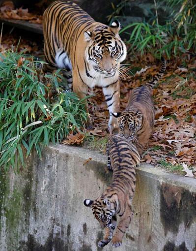 Sumatra kaplanları görücüye çıktı