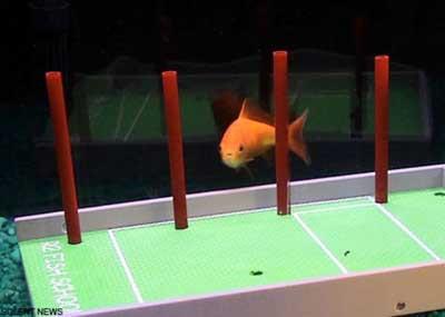 Dünyanın en akıllı balığı