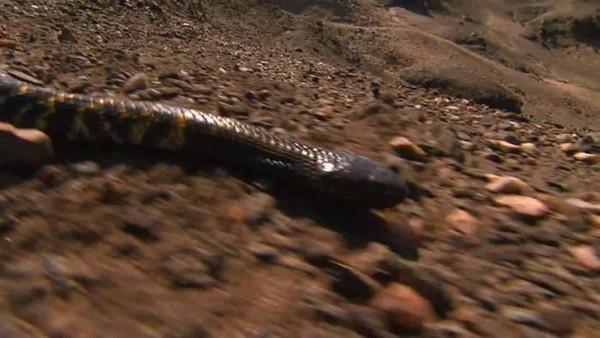 Zebra yılanı bukalemonu affetmedi