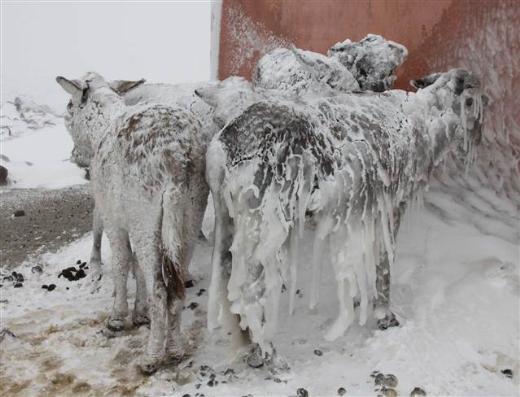Siverekte eşekler buz tuttu
