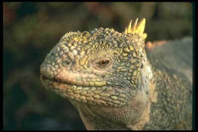 İguana pilavı nasıl yapılır!