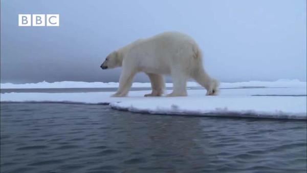 Kutup ayısının sinsi saldırısı