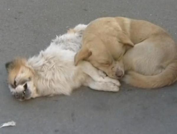 Vefakar köpek ölen arkadaşını bekledi