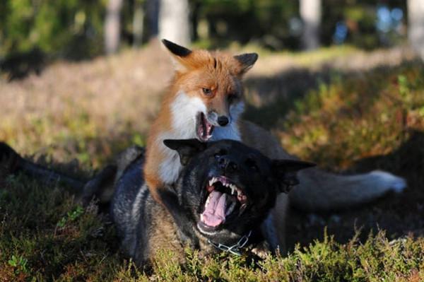Tilkiyle köpeğin görülmemiş dostluğu