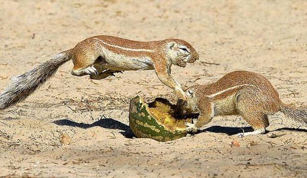 Sincapların yemek savaşı