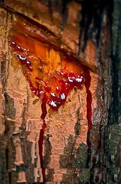 Kan ağlayan ağaç bin derde deva