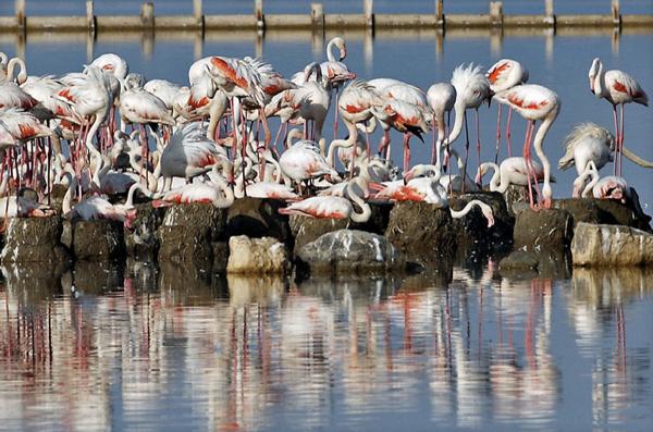 Gediz Deltasında flamingo güzelliği