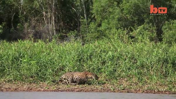 Jaguarın inanılmaz avı
