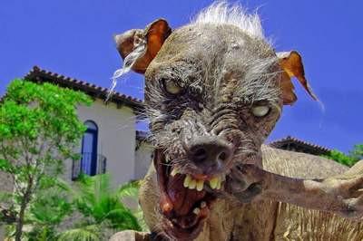 İşte en çirkin köpekler
