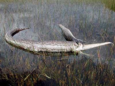 Pitonlar timsah avında