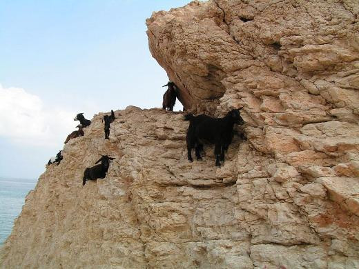 Korku nedir bilmeyen keçiler