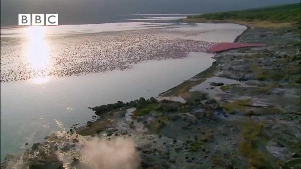 Kartal flamingoyu böyle avladı
