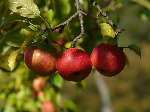 Gençlik iksiri elma