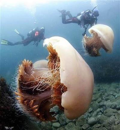 Denizanalarının anası