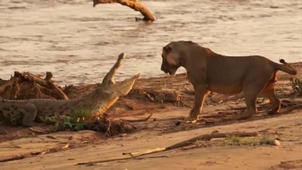 Aslanla timsahın müthiş savaşı