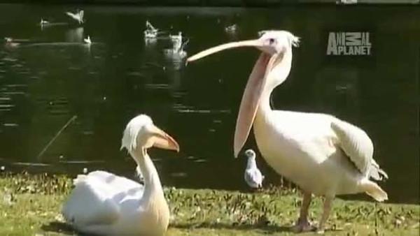 Pelikan güvercini böyle yuttu