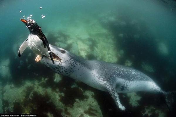 Leopar foku pengueni böyle avladı