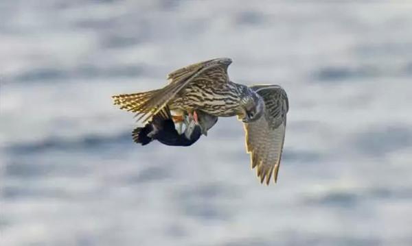 Şahinin papağan avı